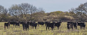 Camargue cattle - At pasture near Saint-Gilles, Gard