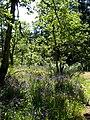 Camas near trail in Phyllis Park - panoramio.jpg
