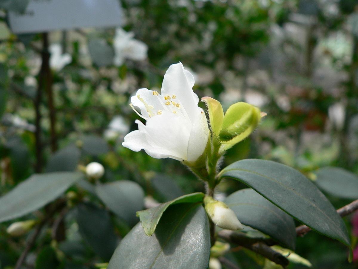 Camellia Fraterna Wikispecies
