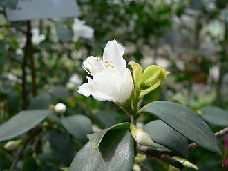 Camellia - Camellia fraterna