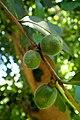 Camellia oleifera kz3.jpg