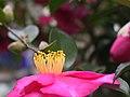 Camellia sasanqua2.jpg