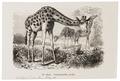Camelopardalis giraffa - 1700-1880 - Print - Iconographia Zoologica - Special Collections University of Amsterdam - UBA01 IZ21600161.tif