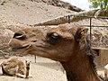 Camelus dromedarius - dromedary head - Dromedarkopf - dromadaire hure - Oasis Park - Fuerteventura - 05.jpg
