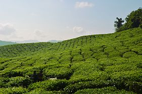 Cameron highlands tea.jpg