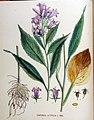 Campanula latifolia — Flora Batava — Volume v18.jpg