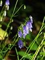 Campanula witasekiana PID2000-2 (cropped).jpg