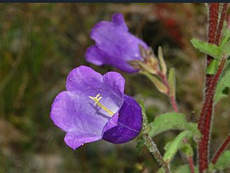 Campanula medium - Close-up on a flower of Campanula medium