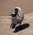 Canada goose (40260).jpg