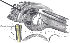 Facial canal - View of the inner wall of the tympanum. (Facial canal visible in upper left.)