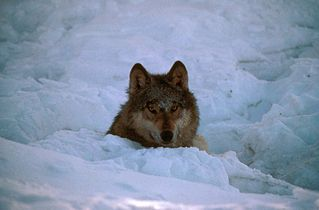 Canis lupus in snow.jpg