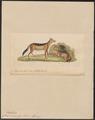 Canis mesomelas - 1834 - Print - Iconographia Zoologica - Special Collections University of Amsterdam - UBA01 IZ22200051.tif