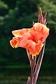 Canna - Indian Botanic Garden - Howrah 2012-09-20 0078.JPG