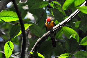 Scarlet-crowned barbet - Image: Capito aurovirens