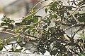 Capparis spinosa-2108.jpg