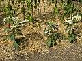 Capsicum annuum - Gardenology.org-IMG 0635 bbg09.jpg
