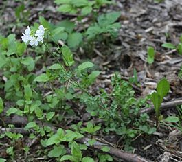 Cardamine dentata - Moscow, May 2016.JPG