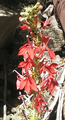 Cardinal flower20010810.PNG