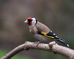 Carduelis carduelis in the gloom.jpg