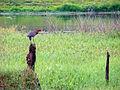 Careiro da Várzea 3, Amazonas.jpg