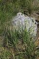 Carex medwedewii 48661466.jpg