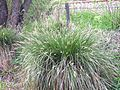 Carex paniculata horst.jpg