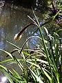 Carex pendula inflorescens (17).jpg