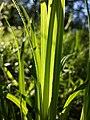Carex pilosa sl30.jpg