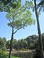 Cariniana legalis - Jardim Botânico de São Paulo - IMG 0179.jpg