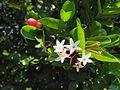 Carissa carandas flowers.JPG