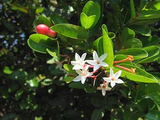 Carissa carandas - Image: Carissa carandas flowers
