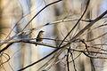 Carolina wren (24375448953).jpg