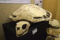 Carolinachelys wilsoni skull and shell.jpg