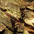 Carpenter Ants - Flickr - treegrow.jpg