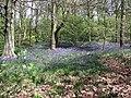 Carpet of Bluebells - geograph.org.uk - 2373986.jpg