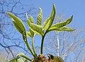 Carya ovata emerging leaves.jpg