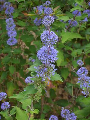 English: Caryopteris incana