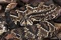 Cascavel - crotalus durissus.jpg