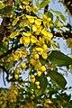 Cassia fistula - Kolkata 2011-04-29 2360.JPG