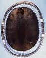 Castor fiber canadensis (Canadian beaver) fur skin (cut 2).jpg