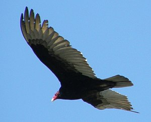Zone-tailed hawk - Turkey Vulture (The zone-tailed hawk bears a superficial resemblance to the turkey vulture, pictured here in flight.)