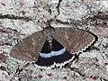 Catocala fraxini 01a (HS).JPG