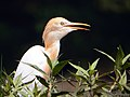 Cattle Egret (16823791693).jpg