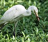Cattle Egret I IMG 7820