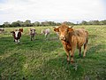 Cattle Woodgreen Hampshire - geograph.org.uk - 273345.jpg