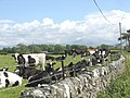 Cattle at Tre Ifan Farm - geograph.org.uk - 861681.jpg