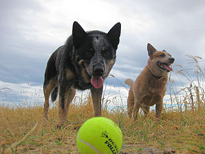 English: Australian Cattle Dogs, Thommo and Du...