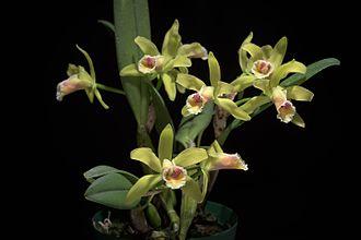 Cattleya luteola - Image: Cattleya luteola 'No 2' (Ecuador) Lindl., Gard. Chron. 1853 774 (1853) (34106118312)
