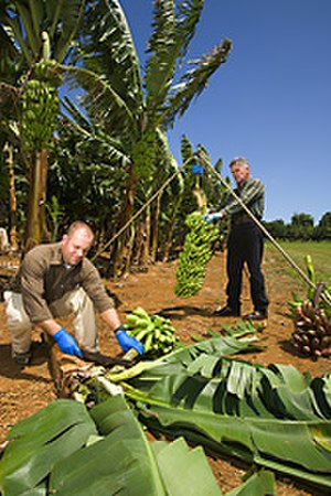 Grand Nain - A bunch of Grand Nain Cavendish bananas being weighed for research.