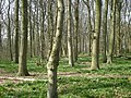Cawston Wood - geograph.org.uk - 1224999.jpg